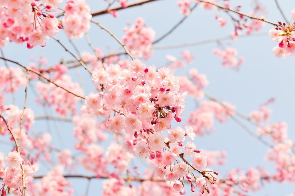 Sakura, kirsikankukkia
